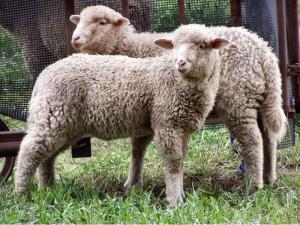 ovca-800x600